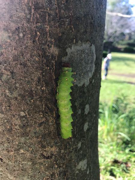 なんの幼虫かわかる方よろしくお願いしますm(_ _)m