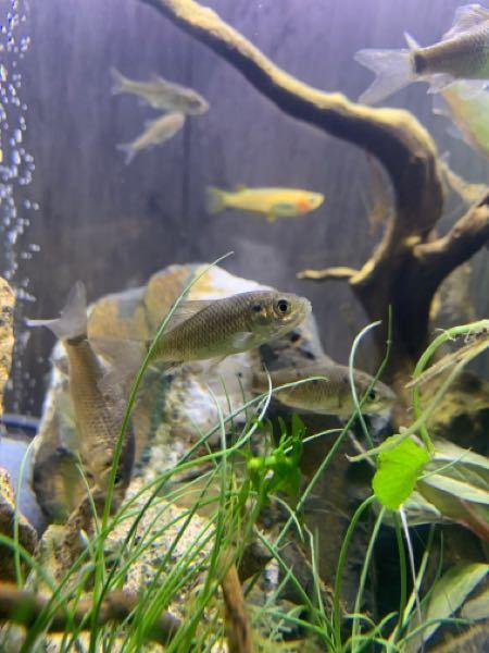 田んぼでガサガサしました。 この魚は何ですか? わかる方宜しくお願い致します。 婚姻色出てる個体もいます。