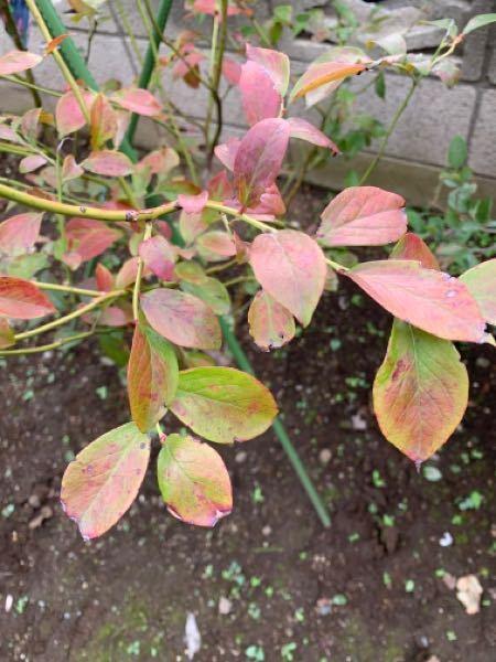 植えた2本のブルーベリーが一つ赤くなってきてしまいました。問題なのでしょうか? 品種はホームベルです。