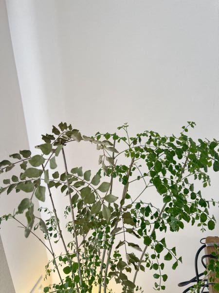 ◆シマトネリコの剪定について 1ヶ月ほど前に購入したシマトネリコが一度葉焼け(?)してしまい全体的に歯が茶色っぽくなってしまいました。 その後、水やりや置き場所を見直したり、枯れた葉、枝を切ったりしていたら新しい葉が育ってきたのですが、葉焼けしたままの葉を切らずにいた枝は、そのまま焼けた葉が落ちずに残っており、新しい葉とだいぶ色が違うので見た目がよくありません。 (写真の左側が焼けた葉、右側が新しい葉です) 焼けた葉の色は戻らないと思うので、全て新しい葉で揃えたい場合、左側の葉焼けした葉がついてる枝は切るべきなのでしょうか?そもそも切ったら同じようにまた生えてくれるのでしょうか。 観葉植物初心者なもので、アドバイスいただけますと幸いですm(_ _)m