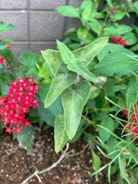この葉っぱはなんという植物でしょうか?? 長い茎の先に葉がついています。 花が咲いている時もありました。 2本伸びているのですが、ずっと2本のままで茎だけが長くなっています。 増やせるといいなと思うのですが、名前が分からないので困っています。 詳しい方よろしくお願いします。