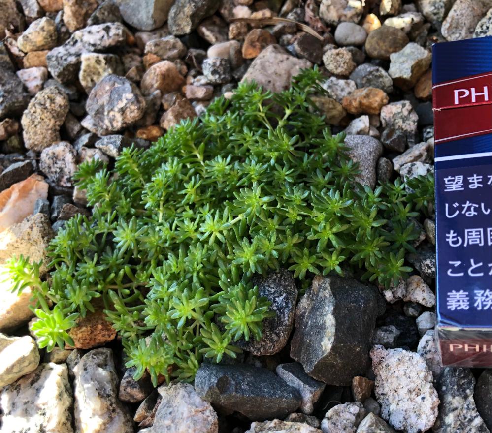 この植物 何かわかりますか? 庭に生えています。ただの雑草なら抜こうかと思っています。
