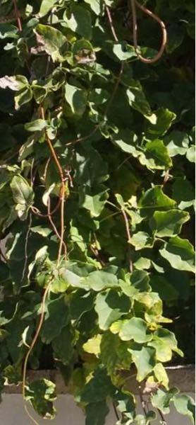 この葉っぱはなんという植物でしょうか? 宜しくお願い致します。