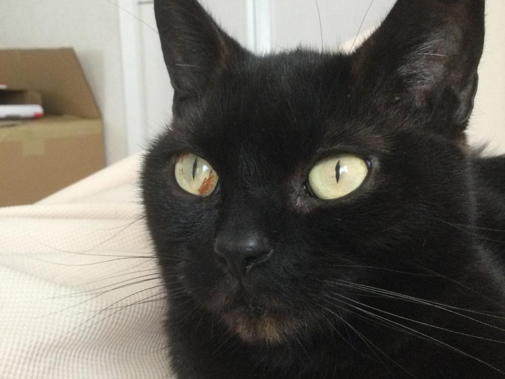 飼っている猫の目についてです うちで飼っている猫なのですが左目に茶色い模様(?)のようなものがあります。 これは別に病気などではないですよね…?ちなみに品種はアメショです