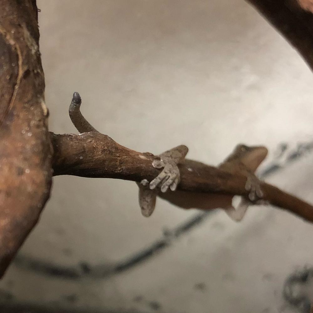 捕獲したヤモリは尻尾を怪我をしているようで…。 これは壊死しているのでしょうか? 手当はどうしたらいいのでしょうか?