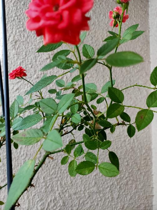 ミニバラの葉っぱが所々 赤くなってます 病気ですか?切ったほうがいいですか?