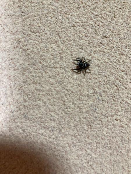 至急! この蜘蛛はなんて名前ですか? 白黒が特徴です。