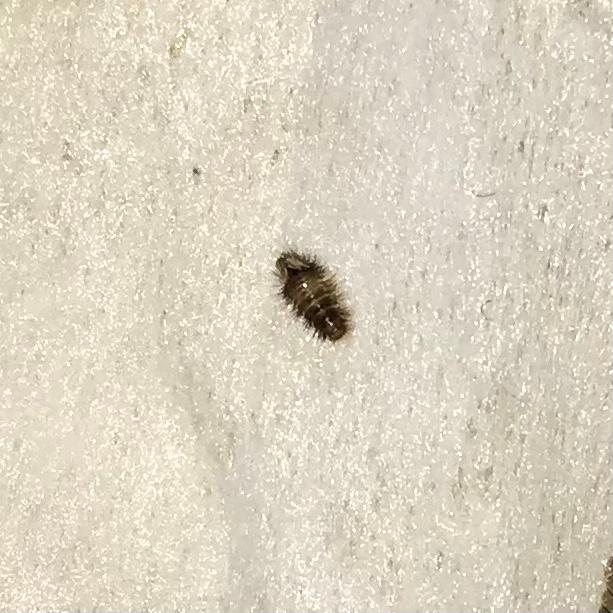 ソファの後ろに数匹いたのですがこの虫なんでしょうか…2ミリくらいのものです。