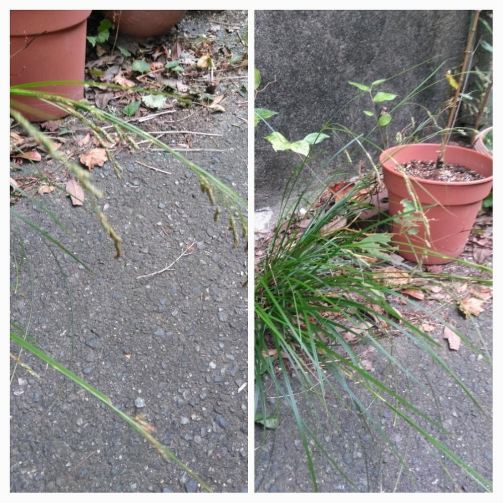 この植物の名前がわかるでしょうか? スゲの類だと思うのですが ....