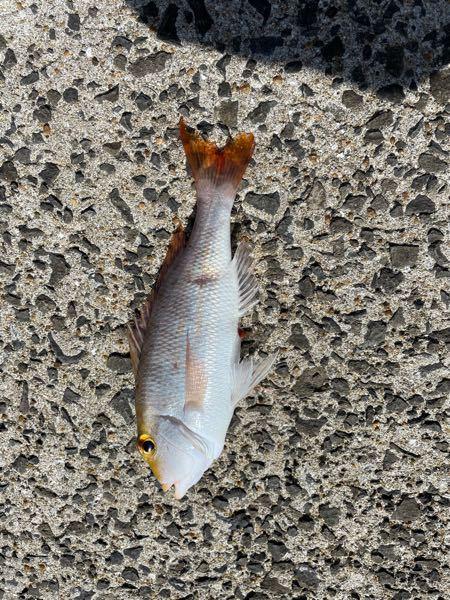 この魚の名前は何でしょうか? アプリで調べるとクロホシフエダイ・真鯛・・・ どちらも違うような気がして