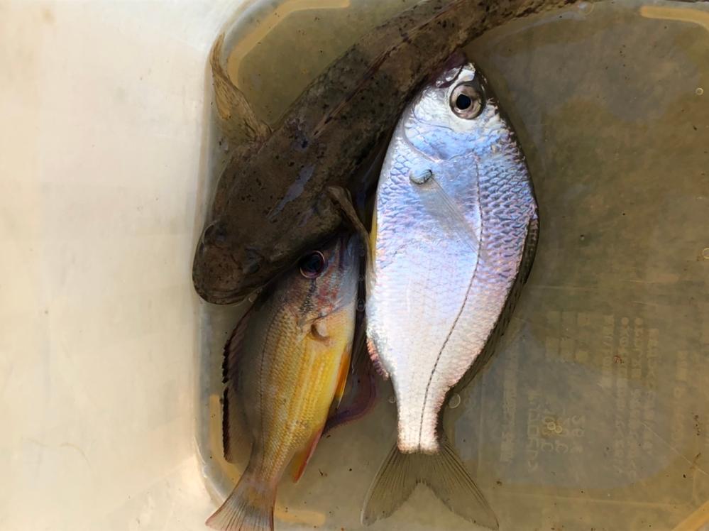魚種を知りたいです。 ハゼ釣りをしてたら見た事ない魚を釣りました。ハゼの横の派手な色の魚です。 何かの稚魚のようですが、何でしょうか? お分かりの方、教えて頂けると助かります。