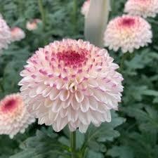 ( ̄0 ̄)こ( ̄ー ̄)ん( ̄〇 ̄)ば( ̄ー ̄)ん( ̄〇 ̄)わ 菊の花は好きですか? ピンポンマムとかスプレーマムあたりが好きです( ̄▽ ̄) 画像はピンポンマムです 明日、スレ立て休みます ...