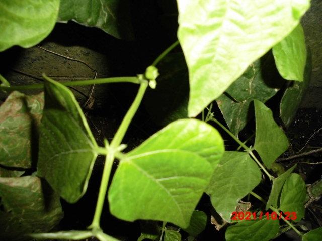 インゲンの種について教えてください。 市販のインゲンの種を植えたら3メートルくらいに伸びて大きくなりました。 インゲンも一杯取れて種もいっぱい保管してます。 そのインゲンの種を撒いたら1メートルくらいしか大きくなりません。 インゲンも自宅で採れた種では大きく成長しないのですか? 夏に採れたインゲンの種を100粒は持ってます。 もし、自宅で採れた種ではだめなら捨てて来年も市販の種を買うのですが。