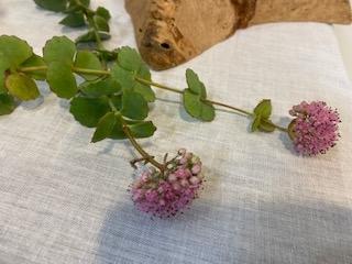 花の名前を教えてください。 小さな花が集まって一つの花をないています。茎の先端に花が一つです。 葉っぱは対生で肉厚のものでした。画像を添えますのでよろしくお願いします。