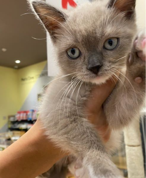 この猫ちゃんの種類分かる方いらっしゃいますか? 教えてください<(_ _)>