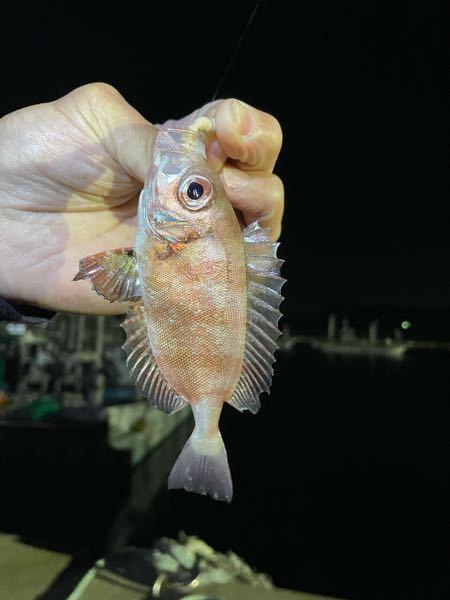 茨城県の鹿嶋にて釣れたこの少し赤い魚は なんという魚でしょうか??? 根魚よりは少し薄べったい感じでした。 ちなみにワームで釣れました。