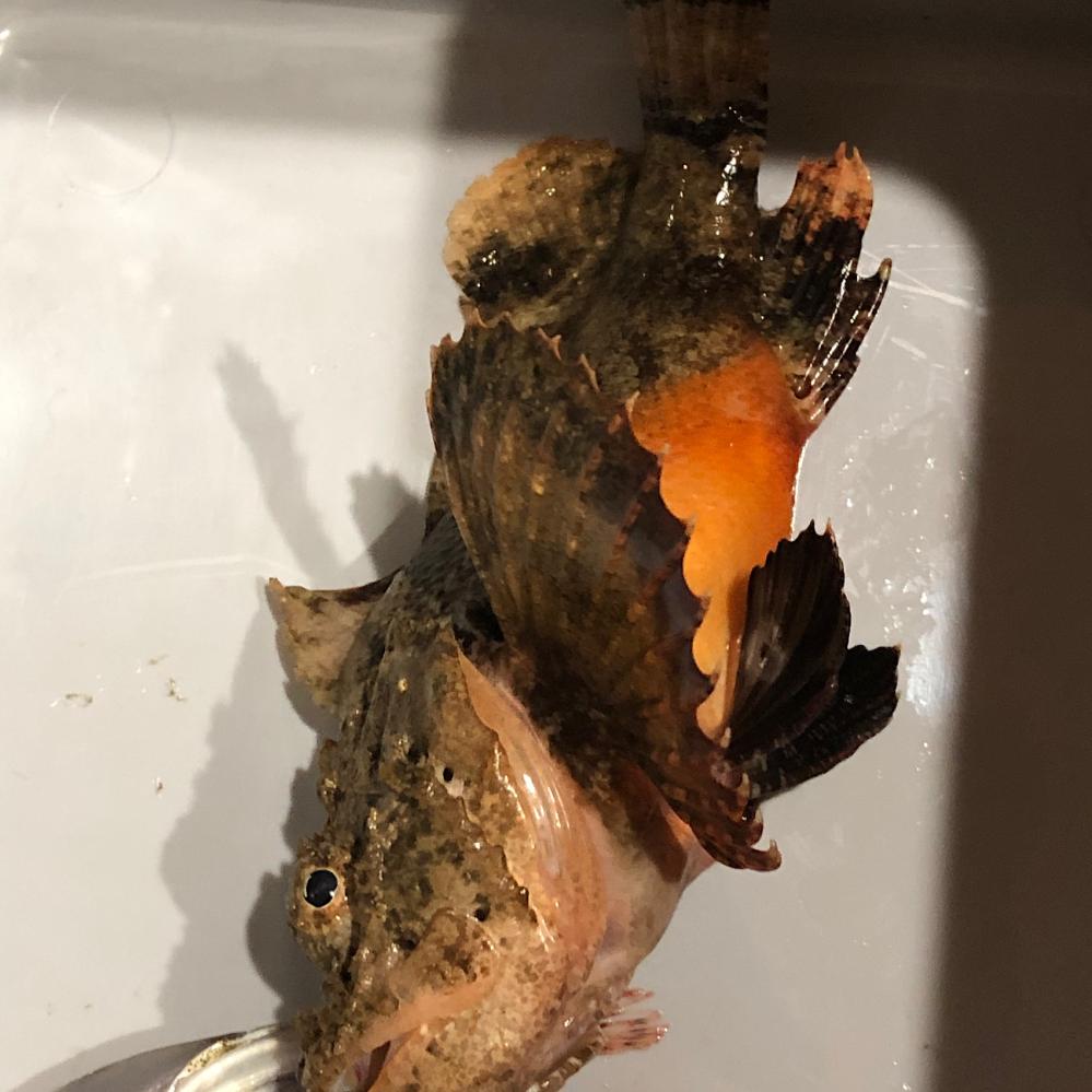 これは何と言う魚でしょうか? 鰭に毒があるかもしれないのでさばいていません。