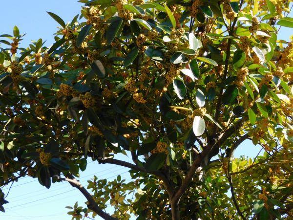 庭にある木です。名前がわかりません。 最近、ジョウビタキがこの木のあたりにいたのを見かけたので、ジョウビタキが実を食べるのか?知りたくて質問しました。 よろしくお願いします♪