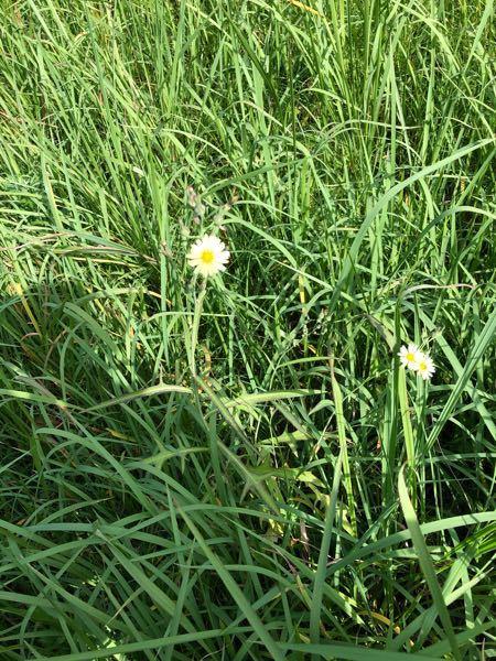 この花はアキノノゲシですか?