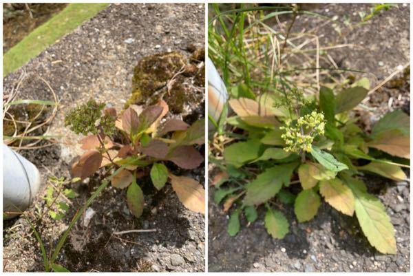 おととい、大阪府・箕面山中の舗装道路沿いで見つけました。おそらく同じ植物の花と実だと思います。 なんだか地味な植物ですが、なんという植物でしょうか?
