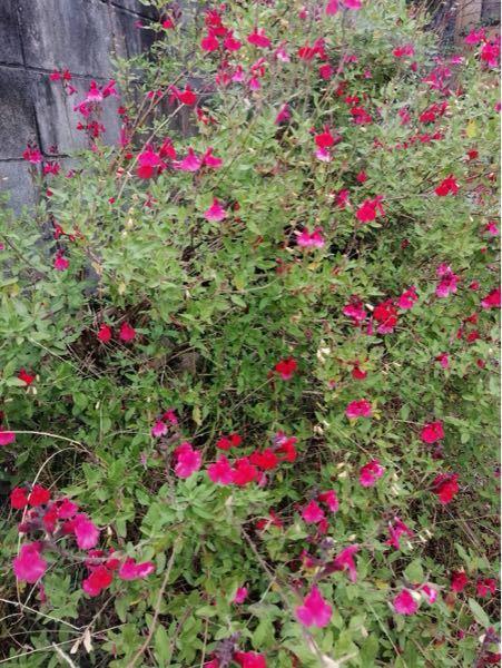 この花木の名前は何でしょうか? 毎年、花がなくなる季節にたくさん咲いてます。 けっこう長い期間咲いてるように思います