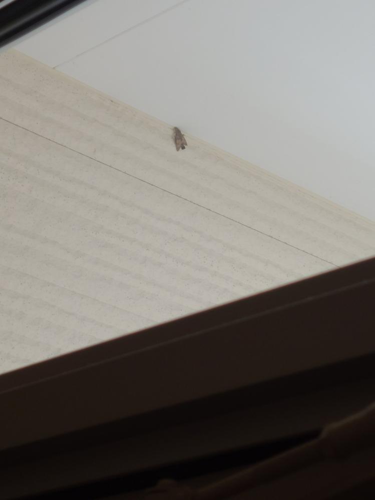 ちょっと見えにくいですが…… 玄関の天井付近に2週間ほど動いていない蛾がいます。虫が大の苦手&高くてホウキでも届かない位置にいます。 これは死んでるのでしょうか…