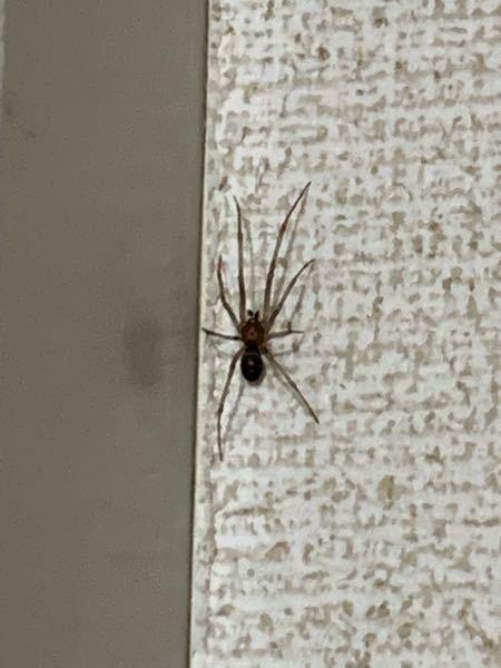 この蜘蛛って大丈夫な蜘蛛ですか?! 毒蜘蛛…ではないですよね? サイズは1センチぐらいです。