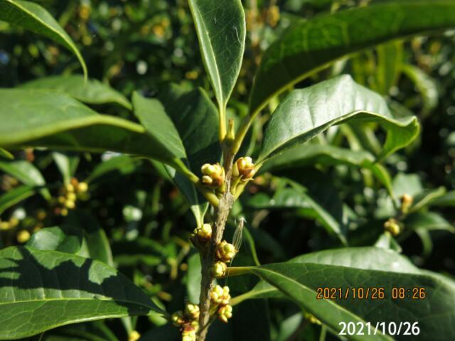 今頃つぼみ?の木の名前を教えてください、植樹です、 岐阜県美濃加茂市木曽川で、 撮影20211026
