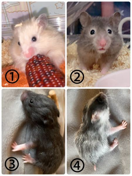 質問させてくださいm(*_ _)m ① (写真1.2) ホームセンターにて カラーハムスター として売られていたのですが この二匹は 何色 になるのでしょうか? 目の周りがメガネみたいなグレーっぽく (見る角度によってはベージュにも見えます) キンクマみたいな色の子は毛がモフモフで ツヤツヤしています ② (写真3.4) ♀キンクマ × ♂ダルメシアン の子供 黒い子はお腹?辺りが少し白いので クロクマかな?と思っているのですが ハチワレの子は 何色 になるのでしょうか? ドミナントスポット?だと思うのですが ダルメシアンではないですよね...? ⚠️こちらもホームセンターからのお迎えなので ♀♂の父母情報はわかりません 今後、繁殖をする際(勿論自分で飼います) 掛け合わせNGなどのことも踏まえたいので それぞれゴールデンハムスター の カラー、模様が知りたいです。 よろしくお願いしますm(_ _)m