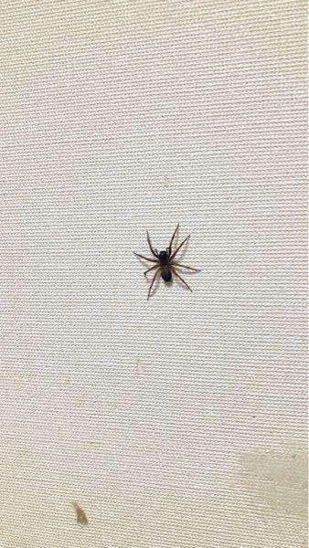 質問です。このクモはなんという名称の蜘蛛 なんでしょうか?体長は3cmぐらいあります。