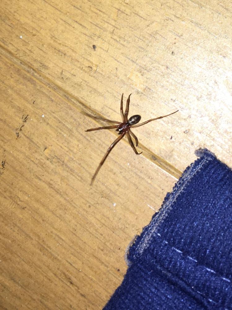 最近この蜘蛛をよく見かけるのですが、なんの蜘蛛でしょうか? 部屋にいるとスボンとかにいつの間にかついていたりします。