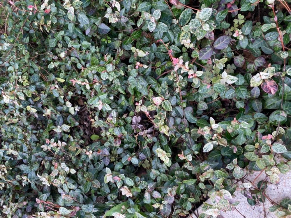 このグランドカバー、何という植物か分かる方、教えてください。