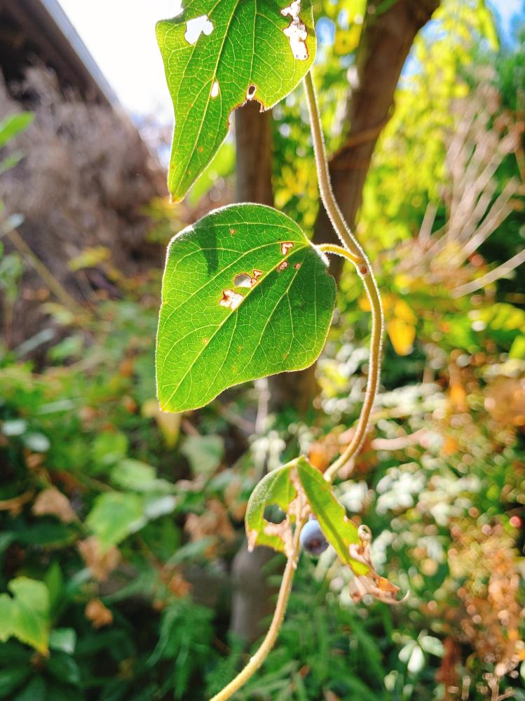 祖母の家の庭に、木々に巻き付くツルの植物があります。 何と言う名のものでしょうか? ブルーベリーの様な実があります。