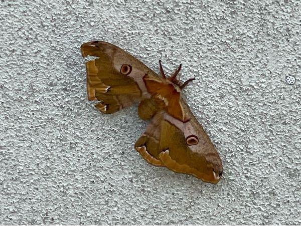 手のひらサイズの蛾がいたんですけど、なんていう蛾か分かりますか!!!