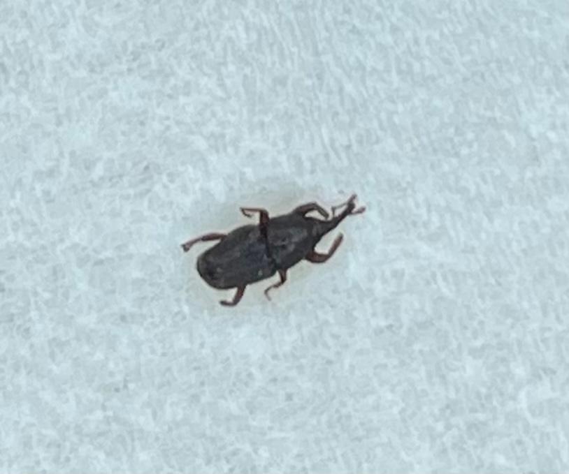 この虫が何か教えてください。 ここ3ヶ月くらいで5~6匹を発見しました。 どれも家の中で、1匹は洗面台にいました。