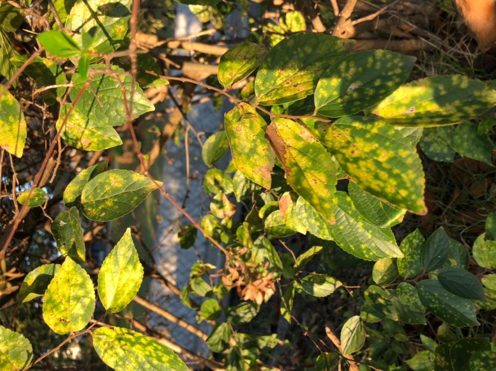 この植物の名前を知っている方いらっしゃいましたら教えて欲しいです。黄緑と緑のマダラ模様で葉っぱがギザギザしています。 犬の散歩中にこの植物がよく生えているのですが、この植物を見つけるとすごい勢い...