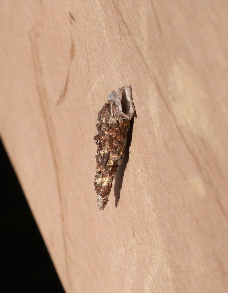 小さなミノムシですが、結構移動していてびっくりします。 小さい蓑の中に入っている虫はどんな虫でどんな蛾になるのでしょうか? お教えください。