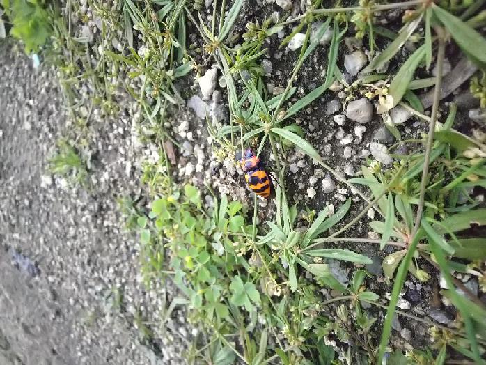 この虫は何でしょうか?オレンジと黒の体に顔周辺が青色です