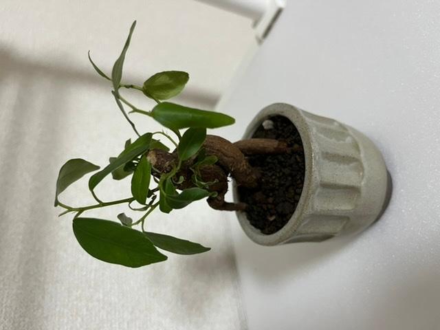 今月買ったガジュマルの葉と幹がしなびてきてしまいました。大きさは鉢の下から全長20cm弱くらいの小さいものです。 土が乾いてるように感じたのでこの前はじめて器にお水を張って水につけました。 葉水...