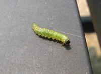 ツツジの葉が、虫に食べられています! 虫はイモムシ状で、全体の色は緑ですが、身体に細かな黒い点々があります。大きな特徴は、頭が黒いということです。大きさは、大きいものでは1cmを超えているものもあります。数ミリくらいの小さいものも…。あたりには、黒い小さな粒粒のフン(?)がたくさんあります。調べてみたんですが、虫の正体がわからなくて困っています。どなたか、虫の正体と駆除方法を教えてください!
