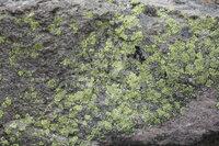 これは何ですか? 山登りをしていたら、あたり一面の岩が真っ黄色! よくみるとこんなコケみたいなものが・・・  これは何なんでしょう?ヒカリゴケ?