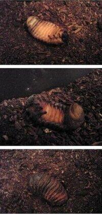 カブトムシの前蛹? 土の上で動かなくなっているのですが、放っておいていいのでしょうか? カブトムシの幼虫を飼っているのですが、何匹かのうち3匹が土の上で動かなくなっています。  ・放っておいていいのでしょうか?今のうちに人工蛹室を作って移す方がいいのでしょうか?蛹になるのを待って移した方がいいですか?  ・うちのは写真のように、それぞれ違う色になっているのですが、動かないので前蛹とい...