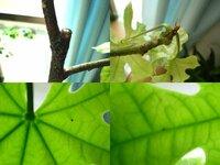 ブラキキトン(ボトルツリー)が病気のようです。対処方法を教えてください。 室内で半年ほど育てているのですが、ここ2ヶ月くらい様子がおかしく困っています。  具合が悪いことはわかっていても、どうやって対処すればよいのかがわかりません。  茎部分に黒いカビのようなものが付き、葉っぱの裏側には点のようなものがつき葉の周りから黄色く枯れてきてしまいます。  詳しい方いらっしゃいましたら、...