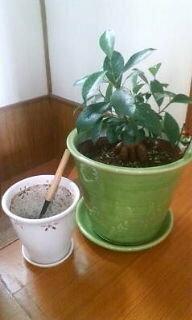 がじゅまるの植え替え。鉢が大きすぎた・・・写真あり☆ いつもお世話になっています☆  育てているガジュマルが大きくなり、鉢が窮屈になっていました。(底穴から根っこが出て、根が回っていた) 小さいままもかわいいですが、もうちょっとたくましく育ってほしかったので、ひとまわり大きめの鉢を買いに行きましたが、なかなか気に入るものがなくて(>_<)   いままでの鉢よりもかなり...