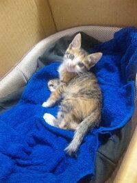 短毛?長毛?な子猫。先程も質問させていただきましたが、  http://chie.mobile.yahoo.co.jp/p/chie/qa/view?qid=1129795246&ySiD=vaKRStCPUeF_c1o.3ZFo&guid=ON  別の写真 でご判断いただきたいです!!先日拾って飼い始めた生後一ヶ月の子猫がいます。 拾った当初はただボサボサと毛並みが悪いだけ...
