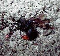 全身真っ黒で、お尻だけ赤いのですが これは蜂でしょうか?アブでしょうか? どんな習性の虫か教えてください。 数日前に居間に1匹、今日台所のシンクの中に1匹現れました。 もし蜂で、家のどこかに巣があるとしたら・・・と不安です。 どこかに巣があるとしたら、巣の見つけ方と駆除の仕方を教えてください。