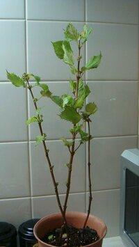 青シソ(大葉)の育て方についての質問です。 私がシソが大好きと言う話をしたところ、先日、友人が庭に植えてある大葉を鉢に移し変えて持ってきてくれました。 花が咲いており(いくつかは取ってしまいました。)葉は小さく黄緑で、数枚食べてみたのですが、とても硬く喉に刺さるような食感です・・・。  せっかく頂いたので、大切に育てたいのですが、この状態からどのような育て方をすれば、下の方にも葉を付け...