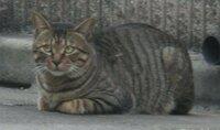 縞模様もはっきり。貫禄たっぷりのネコちゃんでした。 先ほどの木登りネコとは別のネコさんです。  とても縞模様が鮮明に感じたのですが 格別そうではないのでしょうか?