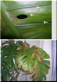 モンステラの葉にちいさな虫がうようよいます。 黒くもなく、葉がべたついていないのでハダニではないように思えます。 実際ハダニの殺虫剤かけても効果ありません。 掃除機で吸い取ったり、ぬれた布巾で拭き取...