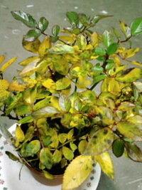 ミニバラの葉が黄色くなってきました。  1週間ほど前に鉢植えのミニバラ(モスクワ)を購入しました。購入時は、黒い斑点のある葉がいくつかあ りましたが、葉は緑色でした。しかし2、3日前から葉がどんどん黄色くなってきました。 原因・対処を教えてください。 室内(昼間~夕方は暖房あり)の窓辺に置いており、水やりは購入日に一度だけしました。土が乾いていないので、購入日以降は水をあげていません。